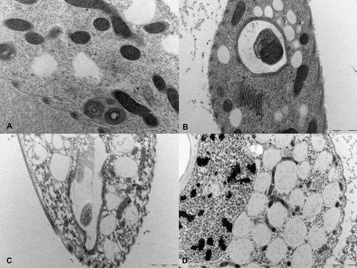 3D reconstruction of Euglena gracilis using serial block face ...